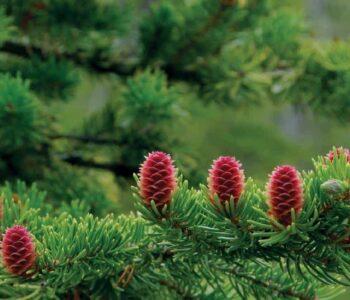 thông đỏ Pháp được ví như vua của các loại thảo mộc
